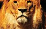Популяция львов в Африке